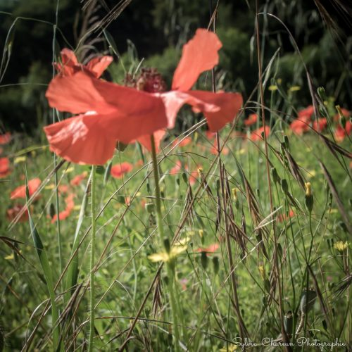Fleur de coquelicot, format carré