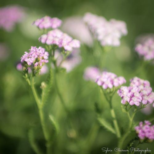 Photo format carré pour tableau ou poster, fleurettes parme
